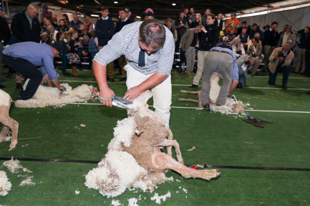 Hay Merino Sheep Show